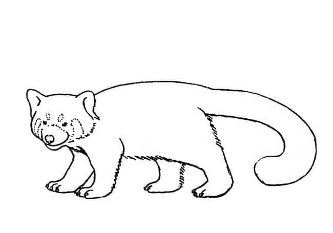 Red Panda Drawing