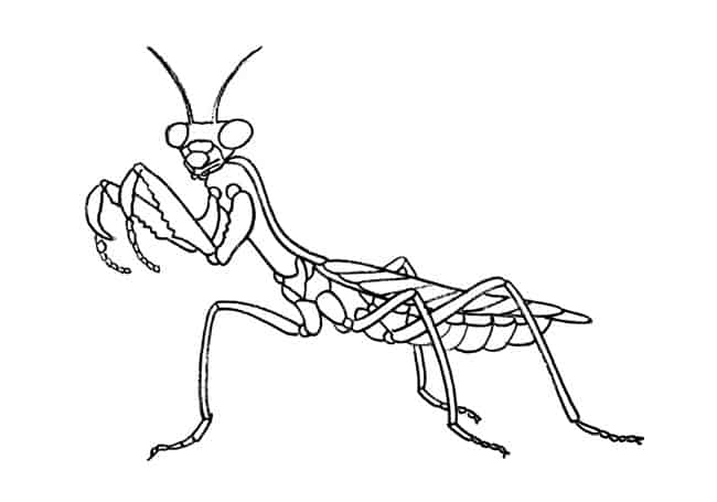 How To Draw A Praying Mantis Step By Step Easy Animals 2 Draw