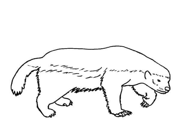 Honey Badger drawing