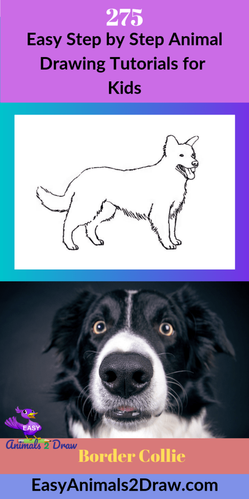 Pinterest image How to draw a border Collie