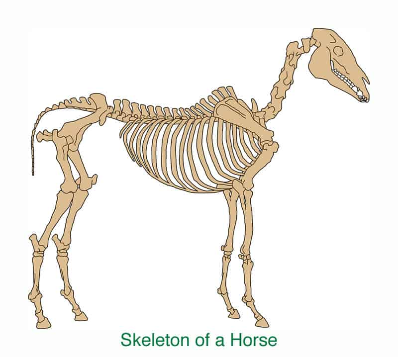 Anatomy of a horse,Skeleton, for artists